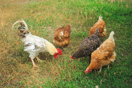 Big proud rooster and brown chickens grazes on green lawn near the farm Stock Photo