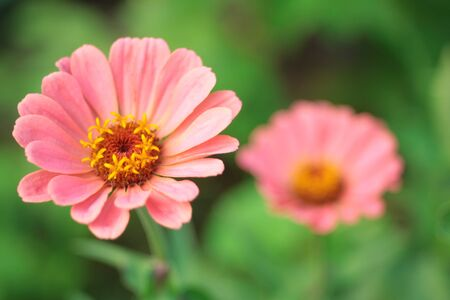 Delicate pink flowers on a green background