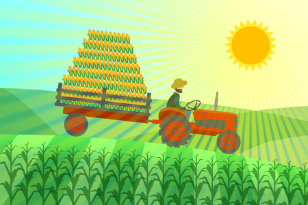 The farmer on a tractor rides in a cornfield, the corn crop