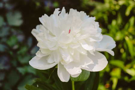 Head of white peony in the garden