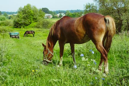 Los caballos marrones comen hierba. Vida rural Foto de archivo