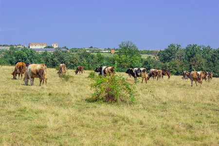 A herd of cows grazing in a meadow on a summer day