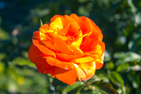 Orange rose blooming on the green nature background