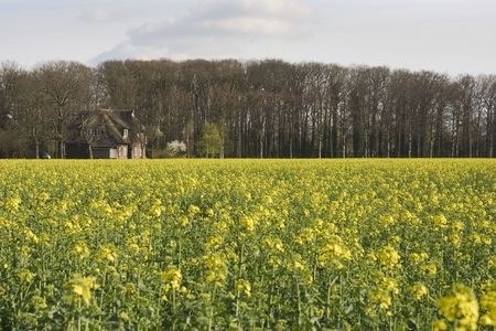 coleseed: coleseed is used to make biofuel for a sustainable world