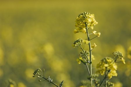 coleseed: close-up of the yellow flowering coleseed plant Stock Photo