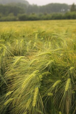 close up of barley in a field photo