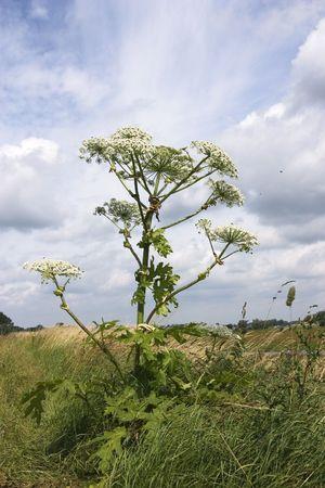 huge hogweed on a dike with great sky Фото со стока