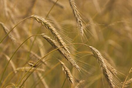 close up of ripe and golden wheat photo
