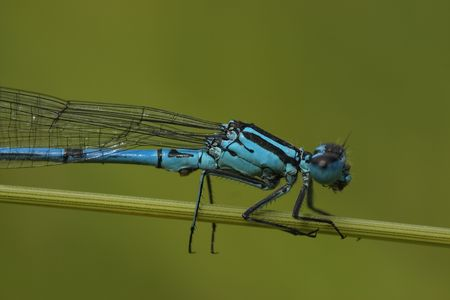 variable: close up of the blue variable damselfly