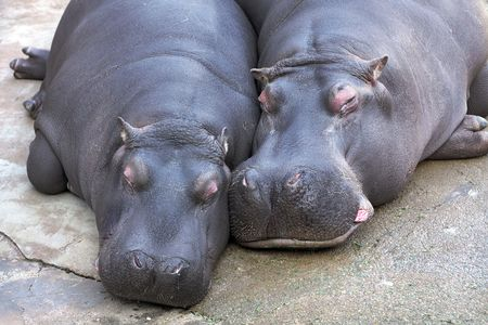 hippopotamus couple resting together