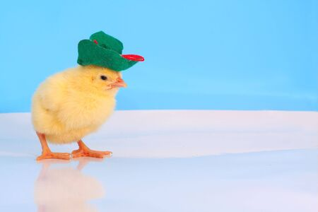 One day cute chicken with green velvet hat at the studio simulated polar scene Stock Photo