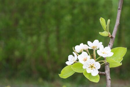 The branch of the pear tree with blossom against the burred floral background