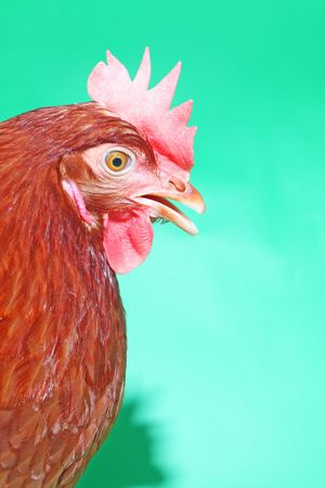Portrait of the brown hen with open beak on the green background