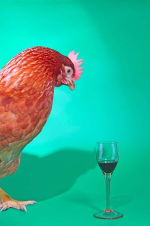 Brown hen looking at glass of liquor against the green background. Stock Photo