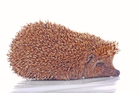 Studio shot of the hadgehog isolated on white