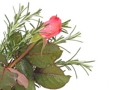 Rose bud and rosemary branches isolated on white with copy space