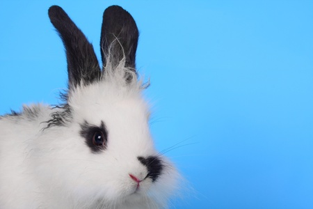Black and white rabbit agains the blue background