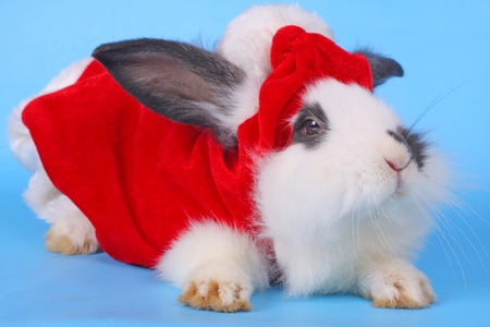 Close up of the black and white rabbit with Santa hat against the blue background