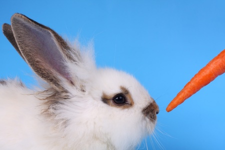 Fluffy rabbit and carrot against the blue background