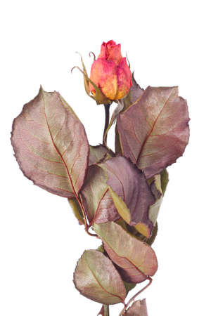 Dried yellow and pink rose bud isolated on white