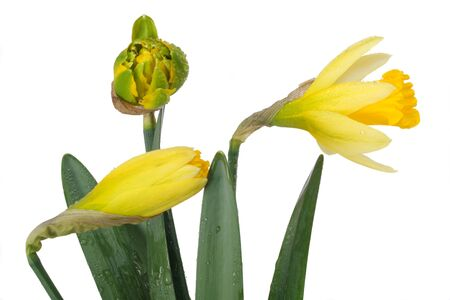 Three buds of narcissus isolated on white Stock Photo