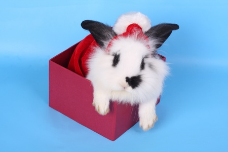 Black and white rabbit with Santa hat steps out of gift box against the blue background