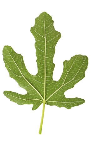 Back of the fig leaf isolated on white Stock Photo