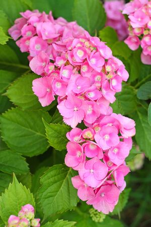 Pink Hydrangea in the garden. Shallow depth of field. Stock Photo