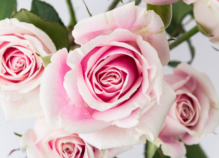 pink flower: white and pink rose isolated on white background Stock Photo