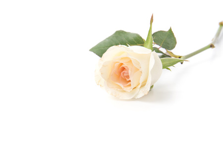 roses petals: white rose isolated on white background