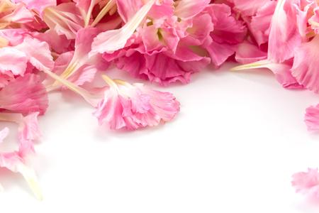 花びら: ピンクのカーネーションの花の花びらの背景 写真素材