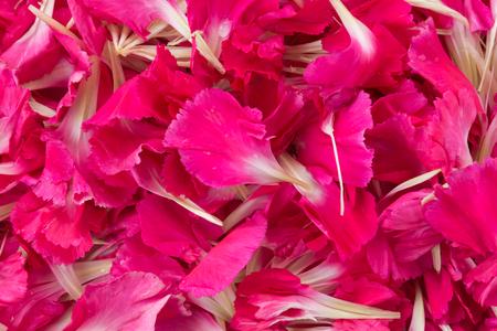 花びら: 赤いカーネーションの花の花びらの背景