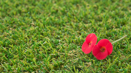 flower thorns: Red Crown of Thorns Flower on green grass turf Stock Photo