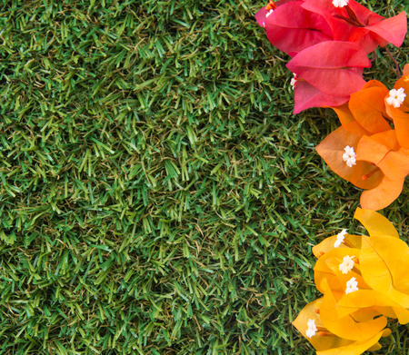 turf flowers: Colorful Bougainvilleas on green grass turf