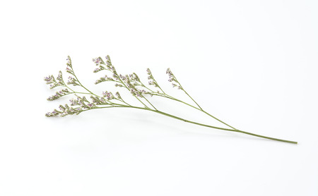 Caspia for Filler Flowers on white background
