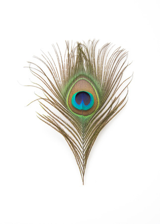 piuma bianca: Bellissime piume di pavone esotici su sfondo bianco