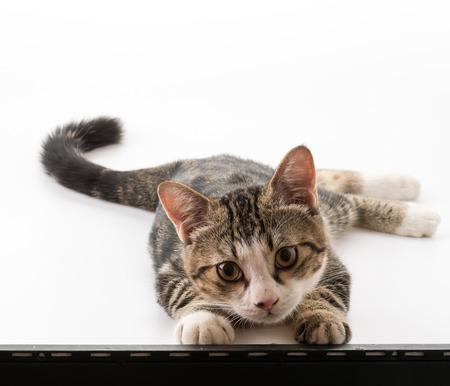 grey cat: grey cat on white background