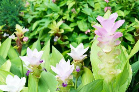 siam: Pink Siam Tulip in the garden