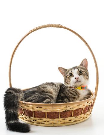 grey cat: grey cat in basket on white