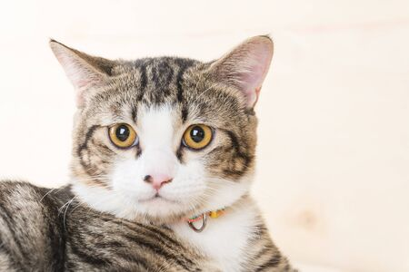 grey cat: grey cat on wood background