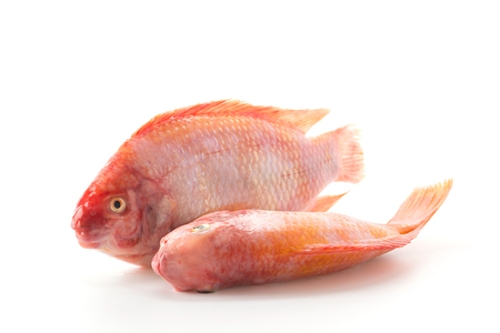 Red Tilapia on white background