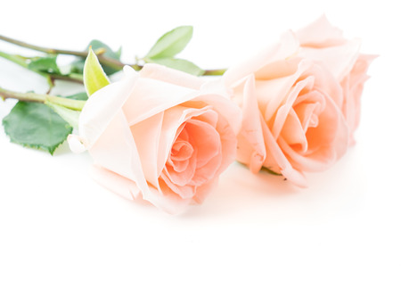 roses in vase: Coral rose on white background