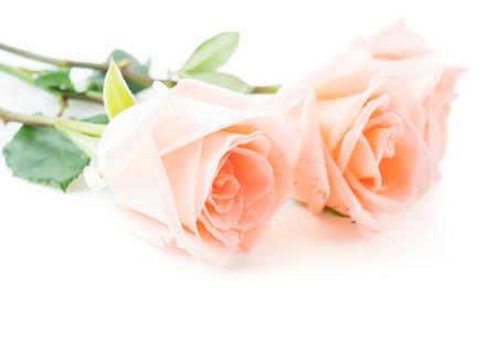 rosas rosadas: Coral se levant� en el fondo blanco