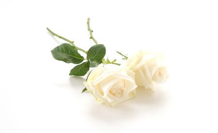 Rosa bianca su sfondo bianco Archivio Fotografico - 52739884
