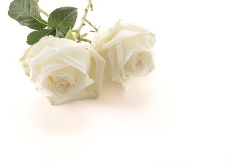 Rose blanche sur fond blanc Banque d'images - 53332935