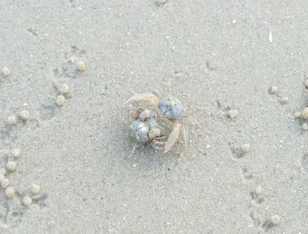 crustacea: Ghost crab on sand beach Stock Photo