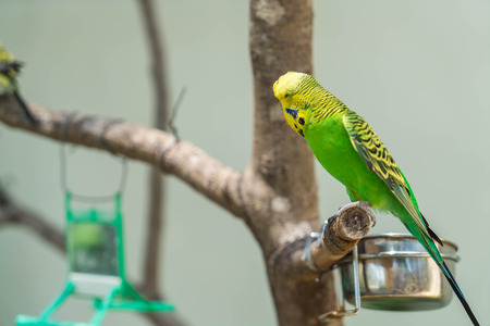 budgerigar: Budgerigar in the zoo Stock Photo