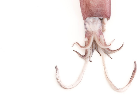 sucker fish: Fresh Squid on white background