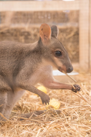 joey: Wallaby or Mini Kangaroo in farm