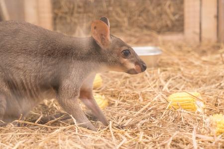 Wallaby or Mini Kangaroo in farm